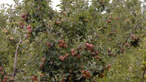 Apple Orchards in Dharanghati
