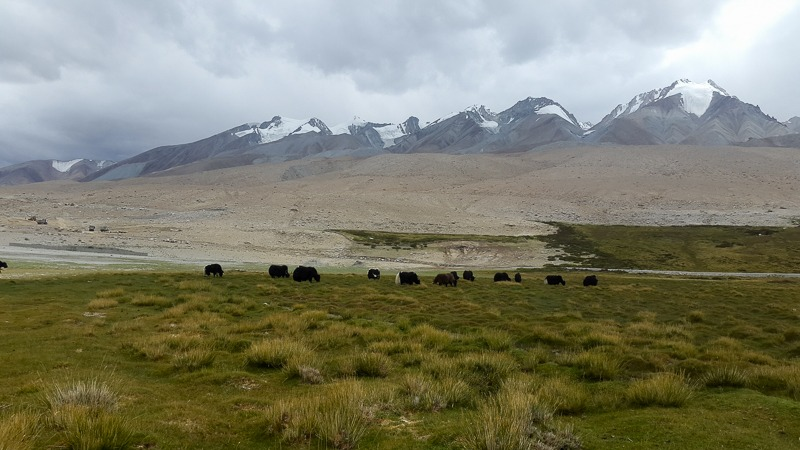 Yak Grazing in Chushul Village