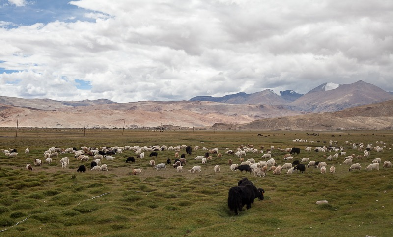 Sheep and yak in Hanle