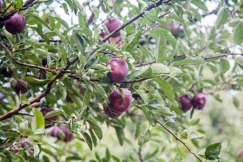 Apple orchard near Uttarkashi